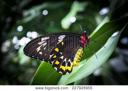 Black, Yellow, Red And Green Bird Wing Butterfly Ornithoptera Priatus Sitting On The Leaf In Austral