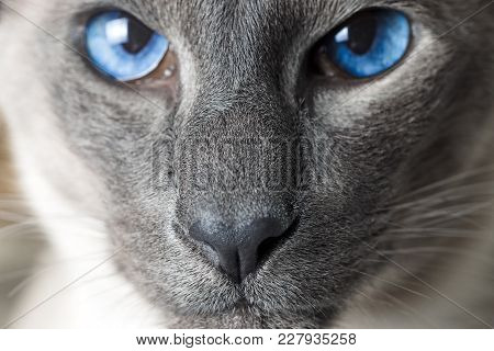 Cat Boy With Blue Eyes Close Up. Breed Of Cat Oriental Cat. Focus On Nose