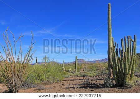 Organ Pipe, Saguaro And Ocotillo Cactuses In Organ Pipe Cactus National Monument, Ajo, Arizona, Usa
