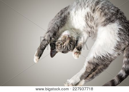 Flying Or Jumping Funny Tabby Kitten Cat Isolated On White And Gray Background. Copy Space. Greeting