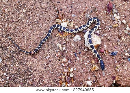 Tucson, Usa, 2018.02.15.: A Young And Injured Kingsnake In The Pantano Wash In Tucson In The Usa.