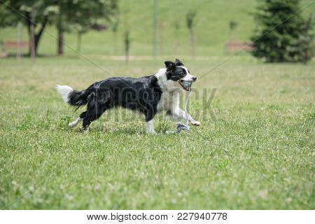 Close-up View Of Border Collie Dog Outside In The Park. Selective Focus