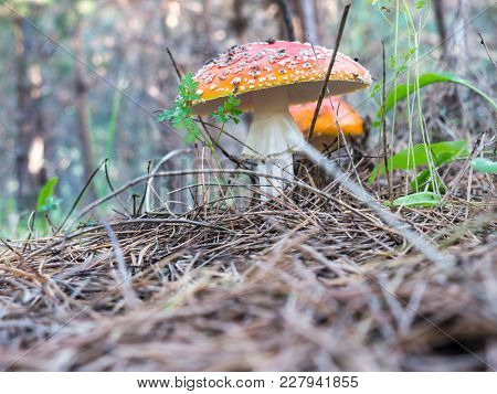 The nature vegetable mushroom amanita on a forest background.