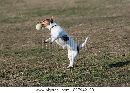 Small Funny Dog Jack Russel Terier Catching Ball On The Green Grass.