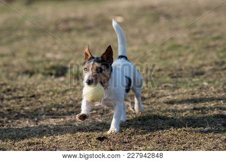 Little Jack Russel Terrier Pet Playing Outdoors In Park. Dog And Toy On Open Air
