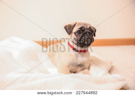 Cute pug puppy on plaid in light room