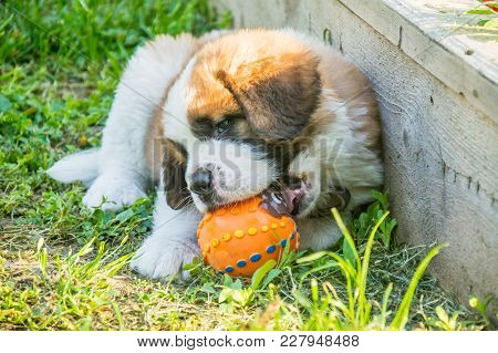 Saint Bernard Puppy Playing In The Summer Outside , On Green Grass, Good Dog, Cute Doggy