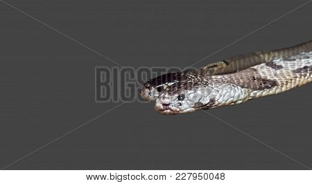 Closeup Dual Monocled Cobra Isolated On Gray Background, Clipping Path