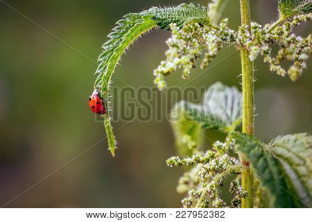 On  Sheet Of Nettle Crawls  Ladybug,  Fine Summer Day,  Life Of Insects