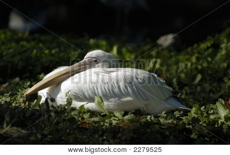 White pelican rest and look for visitor in zoo. Kaliningrad Russia. poster