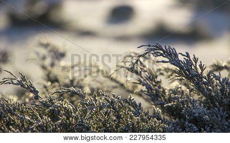 Close Up, Shallow Depth Of Field Of White Cedar - Thuja Occidentalis