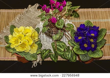 Flowering At The Beginning Of Spring Houseplants,blue And Yellow Violets With A Purple Cyclamene On