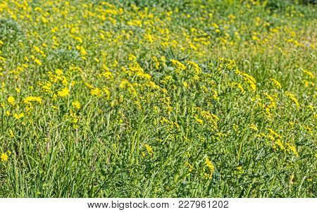 Yellow Flowers Of Spring Groundsel, Senecio Vernalis, On A Green Lawn, Close-up. Selective Focus
