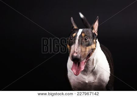 Black And Tan With White Bullterrier Looks Aside And Smiles On Black Background At Studio
