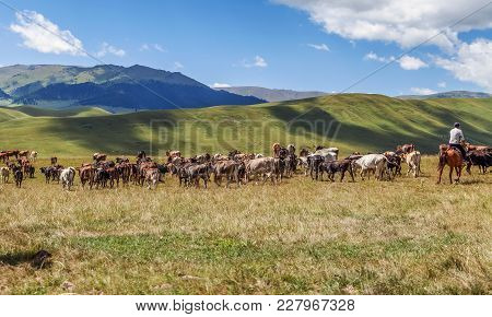 A Herd Of Cows On The Assy Mountain Plateau. Kazakhstan.