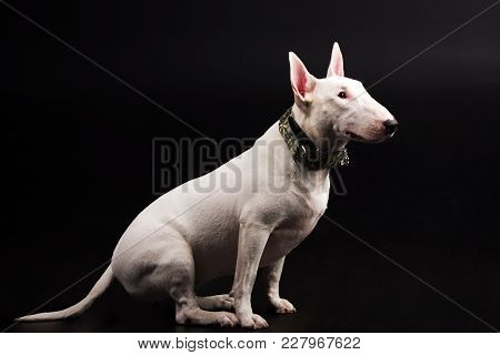 White Bullterrier With Green Collar Looks Aside And Execute The Command Sit On Black Background At S