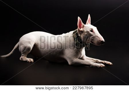 White Bullterrier With Green Collar Looks Aside And Execute The Command Down On Black Background At
