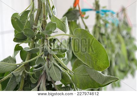 Medicinal Plant Sage Is Hung Up To Dry In A Room - Close-up