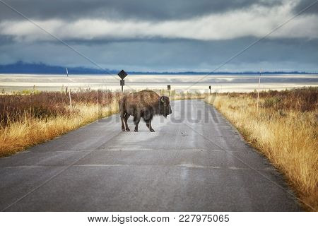 American Bison On A Road In Grand Teton National Park, Wyoming, Usa.