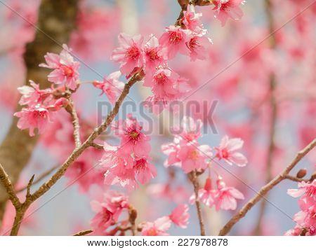 Soft Focus Cherry Blossom Or Sakura Flower On Blue Sky Background