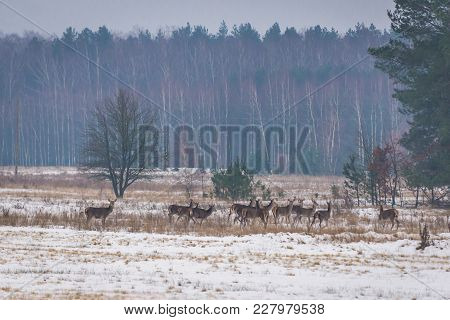 Herd Of Roe Deers On A Field In Podlasie Region Of Poland