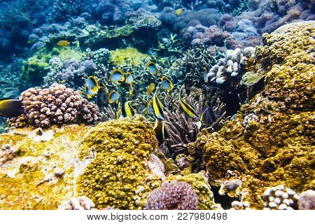 Tropical Yellow Fish And Corals On Reef In Indian Ocean.