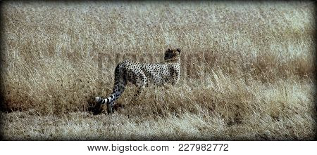 A Cheetah In The Wild Sabana Of Africa