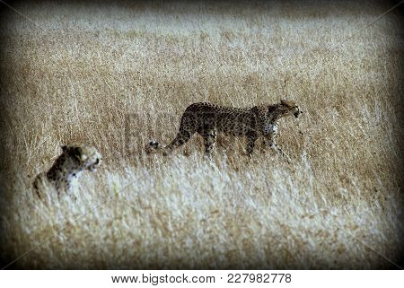 A Couple Of Cheetahs In The African Sabana