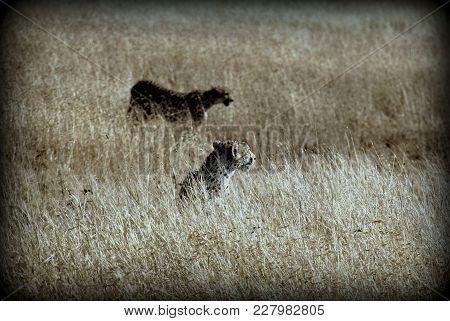 Couple Of Cheetahs In The African Sabana