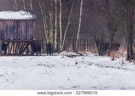 Wooden Barn With A Hay For Free Living Wisents In Gruszki, Small Village In Bialowieza Forest, Polan