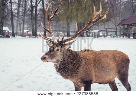 Deer In Show Reserve Of Bialowieza Forest National Park In Poland
