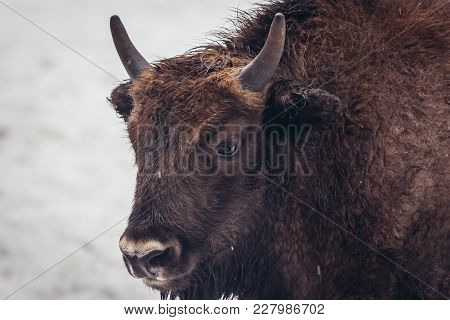 Potrait Of Young Wisent In Bialowieza Forest National Park In Poland