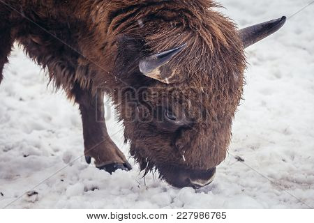 Wisent In Bialowieza Forest National Park In Poland