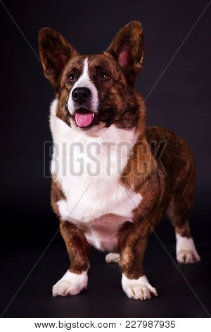 Welsh Corgi Cardigan Looking Forward On Black Background At Studio