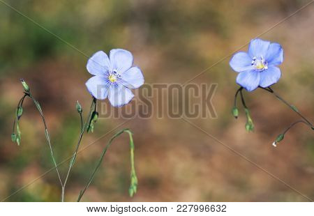 Springtime, Spring Concept - Beautiful Blue Flax Flowers