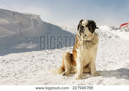 St. Bernard Dog Ready For Rescue Operation In Winter On The Mountain. Cute Big Saint Bernard Dog In
