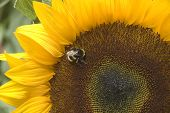 The bee collects pollen from a sunflower poster