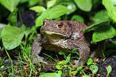 Close-up photo a common or European toad poster