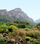 KIRSTENBOSCH BOTANICAL GARDEN WITH FYNBOS, WHICH IS A DISTINCTIVE KIND OF VEGETATION FOUND ONLY ON THE SOUTHERN TIP OF AFRICA, IN THE FORE GROUND AND A MOUNTAIN IN THE BACK GROUND poster