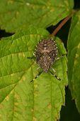 Portrait Parent bug (Elasmucha grisea) - Larva on a leaf poster