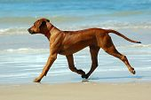 A beautiful active African female Rhodesian Ridgeback hound dog puppy with happy expression in the face moving on the beach outdoors in South Africa in summertime poster