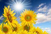 Summer sun over the sunflower field poster