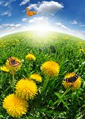dandelions with butterfly in the meadow poster