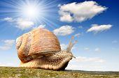 Garden snail (Helix aspersa) poster