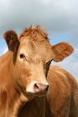 the face and upper body of a cow. poster