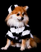 An adorable Pomeranian puppy dressed in the stripes of a prisoner. poster