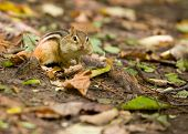 A cute chubby-cheeked chipmunk among fallen autumn leaves. poster