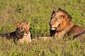 Male and female lion pair lying in green grass poster
