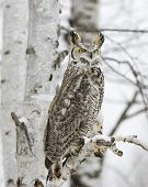 Long eared owl in winter plumage roosting in a tree poster