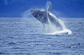 Humpback whale breach Frederick Sound SW Alaska poster